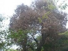 ナラガレ対策 ビニール被覆の実施 奈良県1