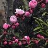 香る梅の花の画像