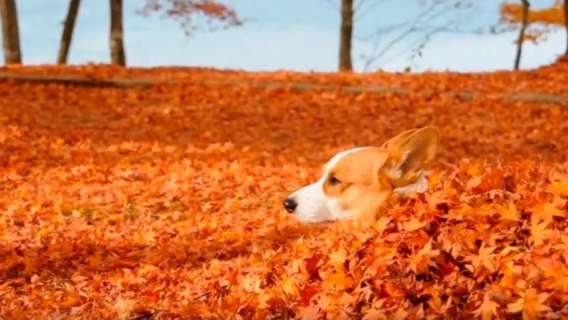 紅葉に埋もれるコーギー