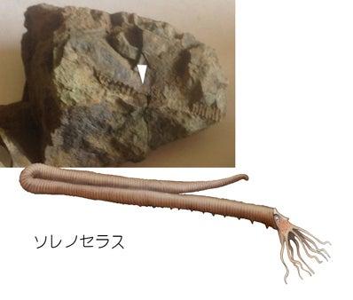 ソレノセラスの化石と復元画