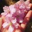 都内で楽しめる河津桜…