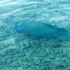 タヒチ ランギロア の魚 ナポレオンフィッシュの画像