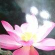蓮の花に☆