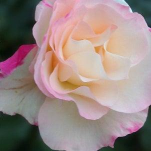西宮「夙川・短歌と花」その362の画像
