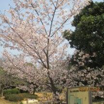 はやくも満開の桜
