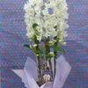 春のお彼岸 デンドロビューム ピュアホワイトマイスターの画像