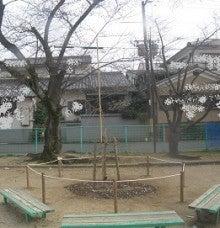 「三春滝桜」の子孫樹、メンテナンス。5