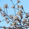白木蓮にも似たの画像