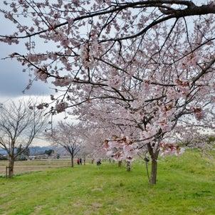 安行寒桜 満開の画像