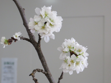 サ高住カウンター上の桜