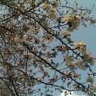 アトリエそばの桜並木、咲き始めました(〃^ー^〃)ーメールなどお返事は明日になります。の記事より