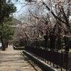 ちょっとずつ桜がの画像