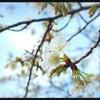 さくら、咲くの画像