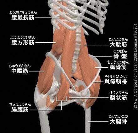 トレ 筋 腰 大 筋 腰方形筋/腰の筋肉 筋肉のしくみ(解剖)と効果的な筋トレの鍛え方