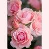 春の新色 ルージュの色と 春のバラの画像