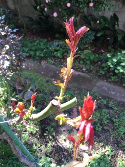 やわらか ふる の たる 芽 に の 二 針 くれ 薔薇 伸び の ない の 尺 春雨
