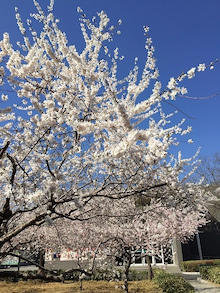 3月27日桜2.jpg