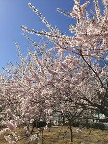 3月27日桜3.jpg