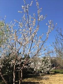 3月27日桜1.jpg