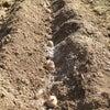 ジャガイモ植付けの画像