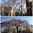 須賀神社の桜 満開の記事より