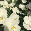 春を喜ぶ白・黄色・紫。の画像