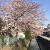 桜咲くの画像