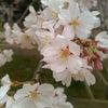 ❤日帰りお花見へ♥の画像
