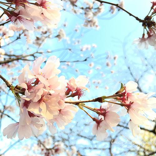 iPhoneカメラで桜を撮る