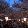 目黒川の桜を見て感じ…