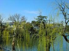 柳の新緑の洗足池3
