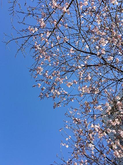 iPhoneで桜を撮影