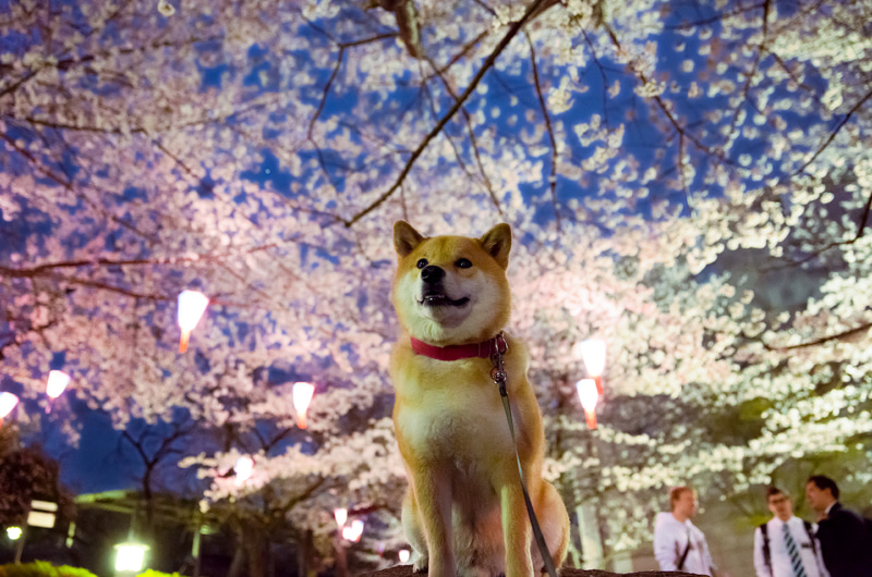 桜の木の下の柴犬