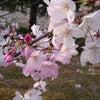 桜の色の本当。の画像