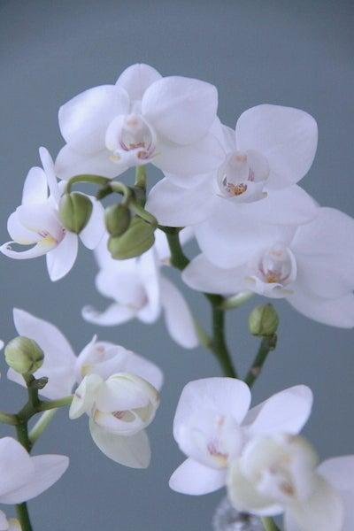 ミディ胡蝶蘭(ホワイト)