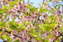 葉桜の思い出 | 世界一わかりやすい法律の授業を目指すブログ