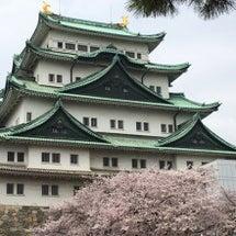 名古屋城のさくら。