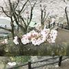 桜って。の画像