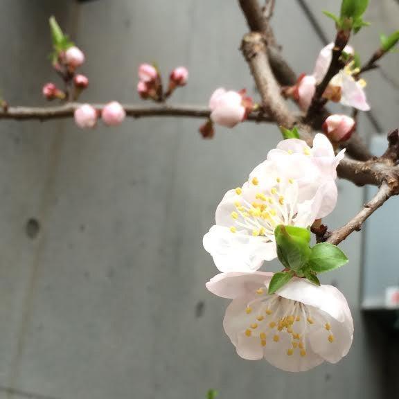 杏 花 アプリコット2