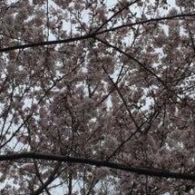 桜と人のエネルギー