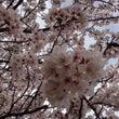 桜とツアー