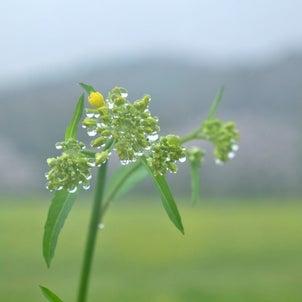 巾着田の菜の花と桜の画像