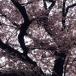 二子玉川の桜…♪