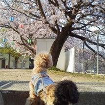 散歩の途中でお花見気…