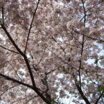 2016嵐山での桜を…
