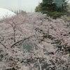 満開、見ごろな桜の香りの画像