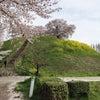 行田古墳桜の画像