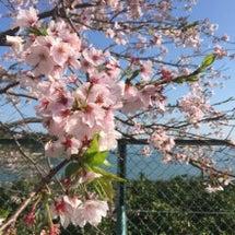 桜の花と有明海