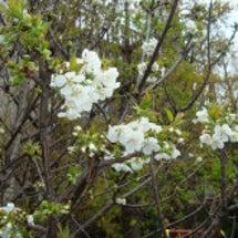 サクランボの花が咲き…