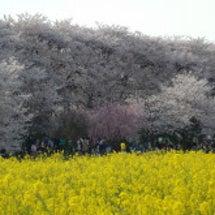 桜満開 幸手権現堂 …